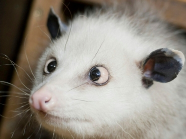 Cross-eyed opossum Heidi is pictured as
