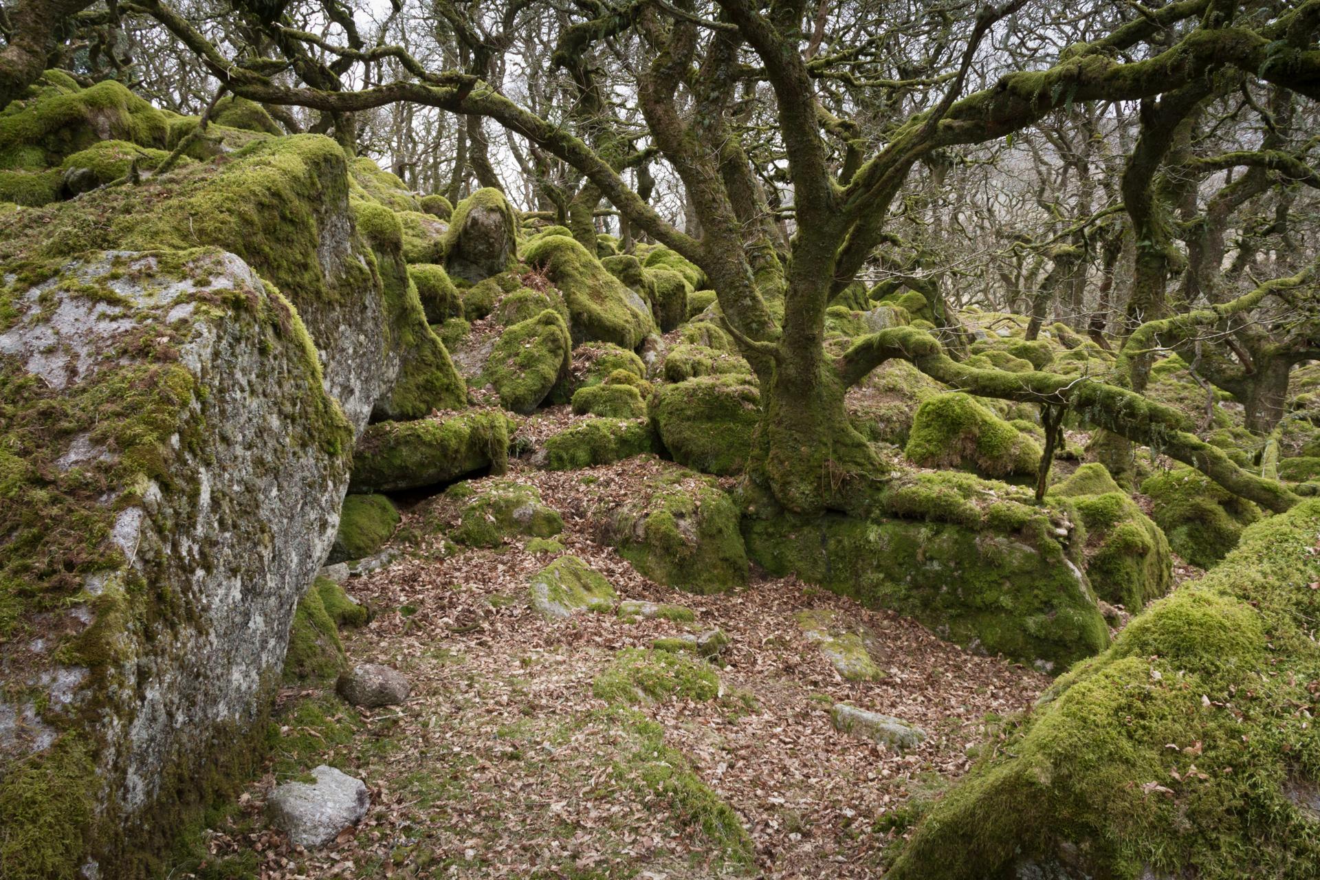 CC, By Miles Wolstenholme https://commons.wikimedia.org/wiki/File:Black-a-Tor_Copse_-_Dartmoor_-_South_Devon,_England.jpg